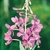 frozen_fireweed